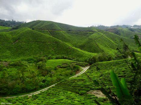Tea Plantations, Cameron Highlands, Malaysia